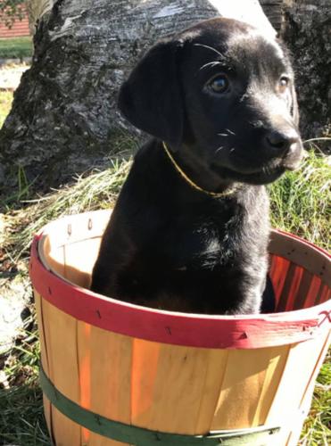 Labrador <3
